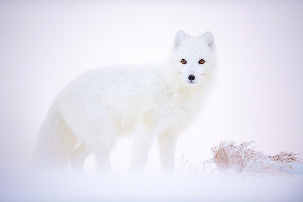 Песец, © Арнфинн Йохансен, Животные, Фотоконкурс CEWE