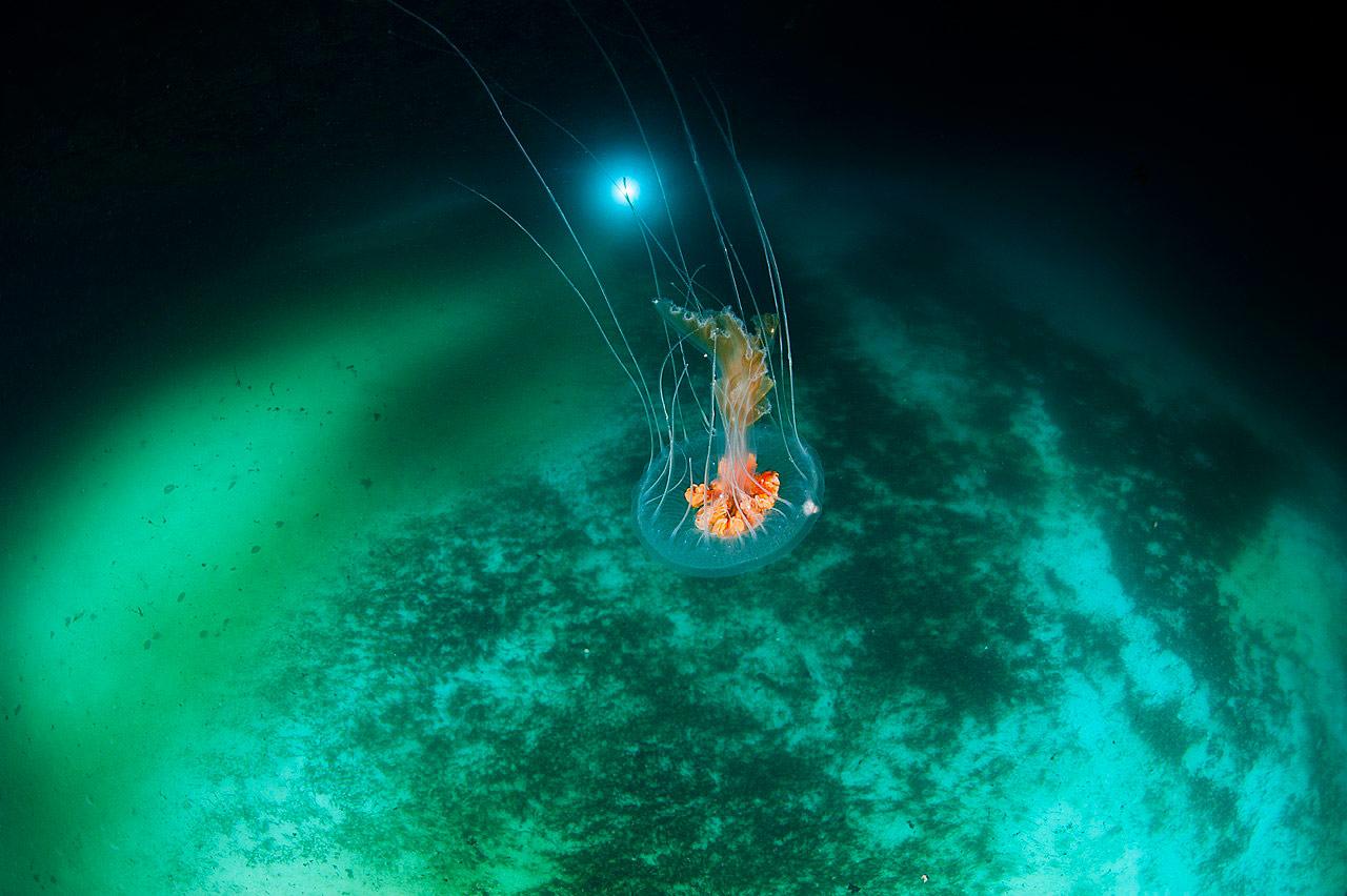 Diplulmaris antarctica, © Эрван Амайс, Конкурс научных фотографий «Снимай науку»