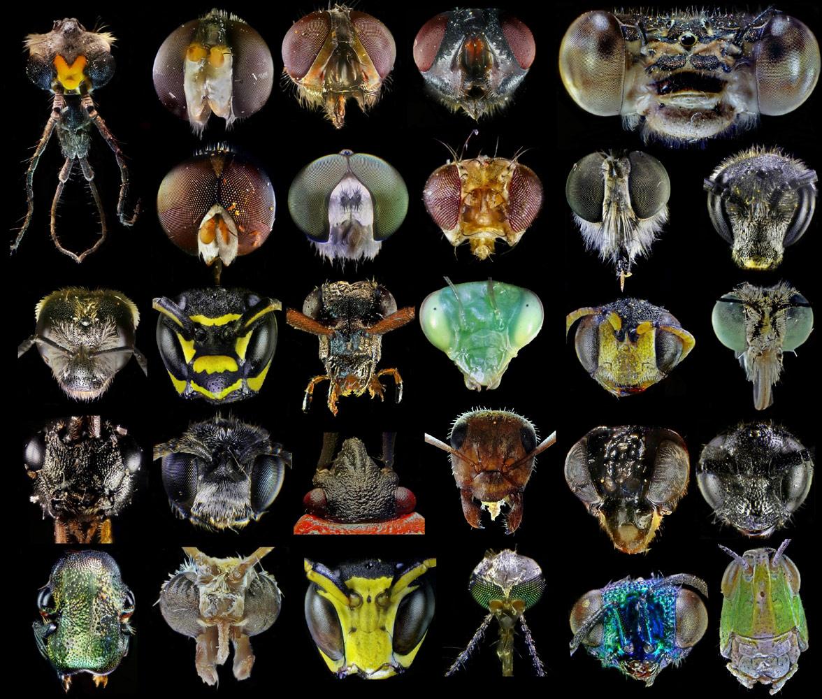 Категория «Серия изображений», Головы разных насекомых, © Андрей Савицкий, Победитель, Конкурс научных фотографий «Снимай науку»