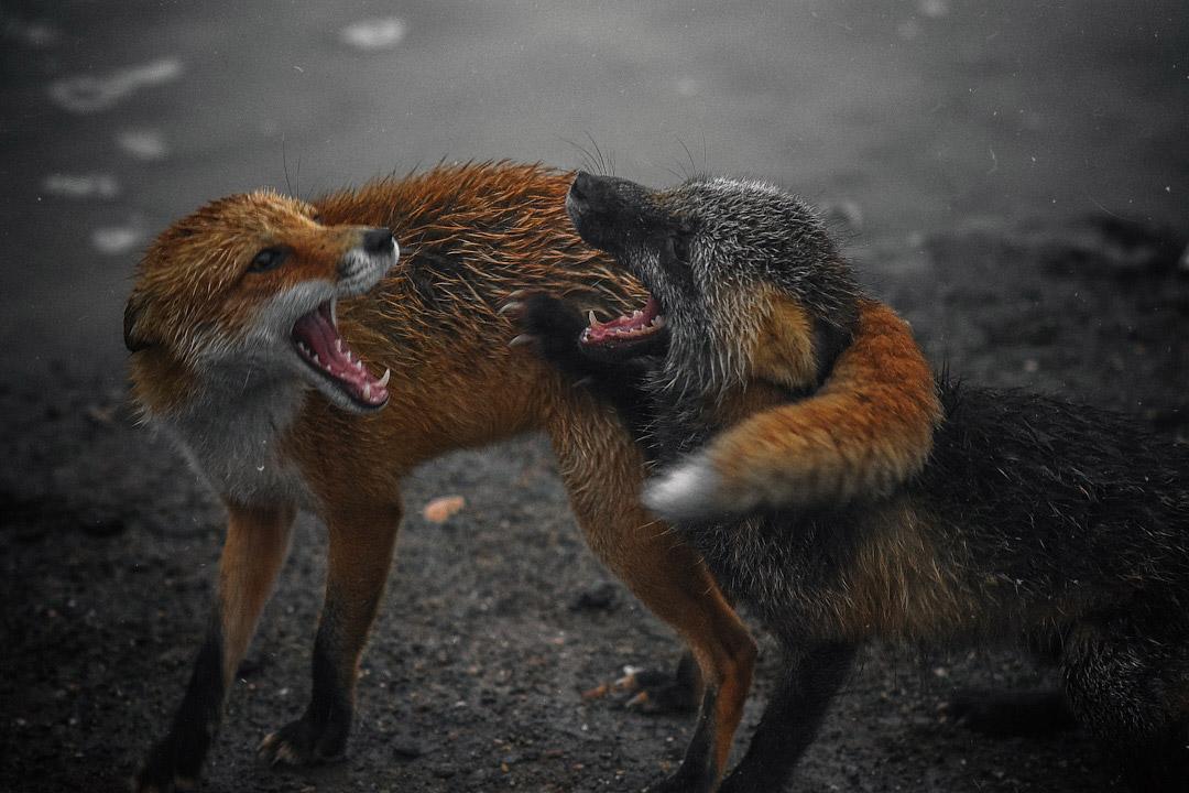 Поговорили, © Артём Белошицкий, 2-е место в номинации «Млекопитающие», Фотоконкурс «Дикая природа России» от National Geographic