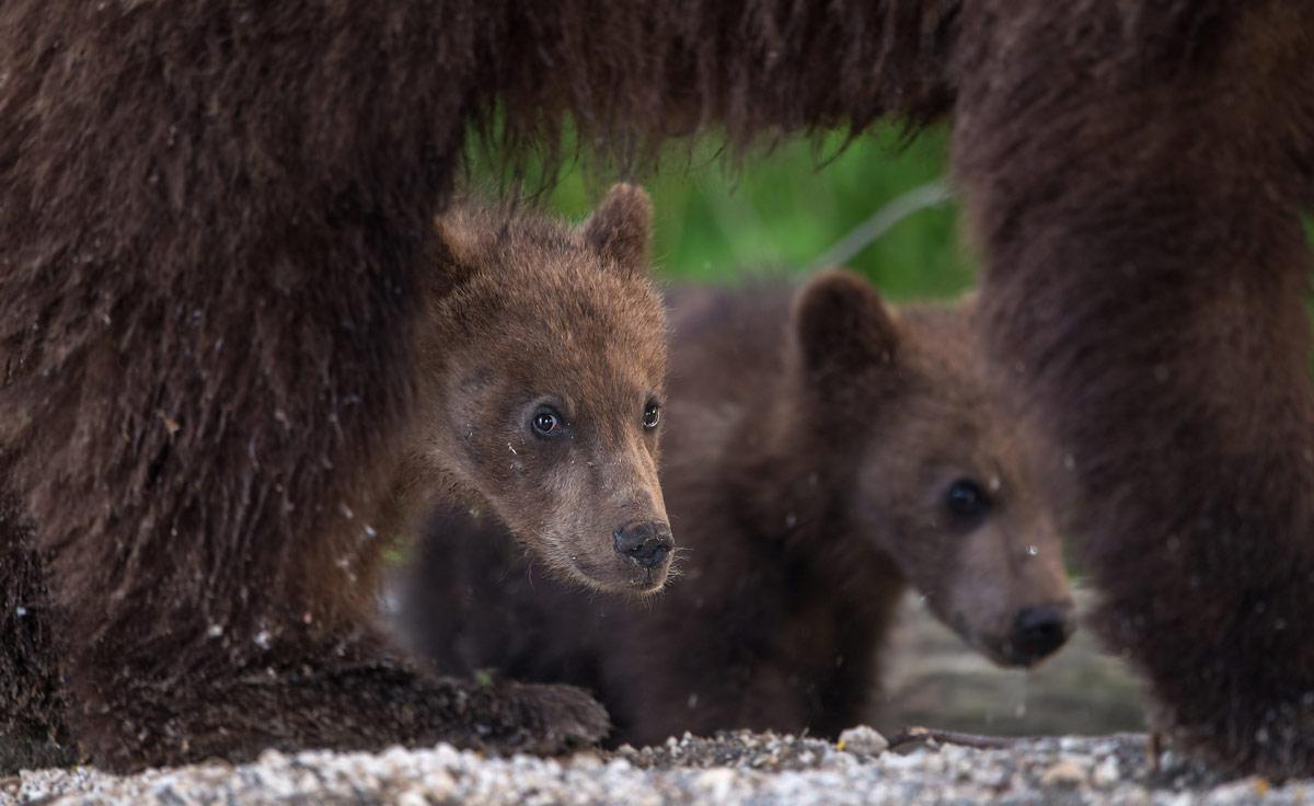 «А я тебя не боюсь!», © Александр Маркелов, 3-е место в номинации «Мамы и детёныши», Фотоконкурс «Дикая природа России» от National Geographic