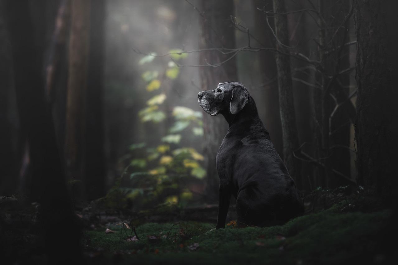 Леди таинственного леса, © Моника ван дер Маден, Нидерланды, Собачий фотограф года, Победитель категории «Старики», Фотоконкурс собак — Dog Photographer of the Year