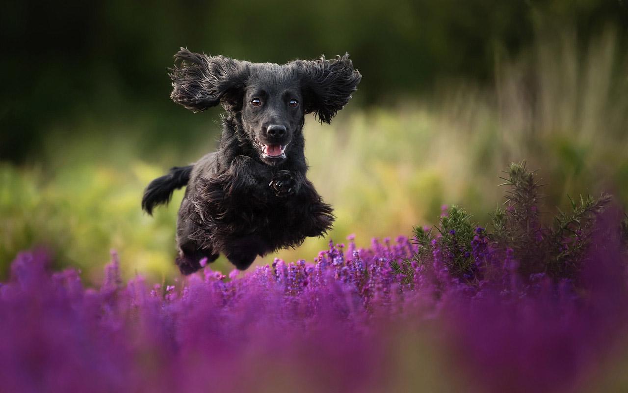Чёрный вельвет, © Алиса Лодер, Великобритания, Специальный приз жюри в категории «Собаки в игре», Фотоконкурс собак — Dog Photographer of the Year