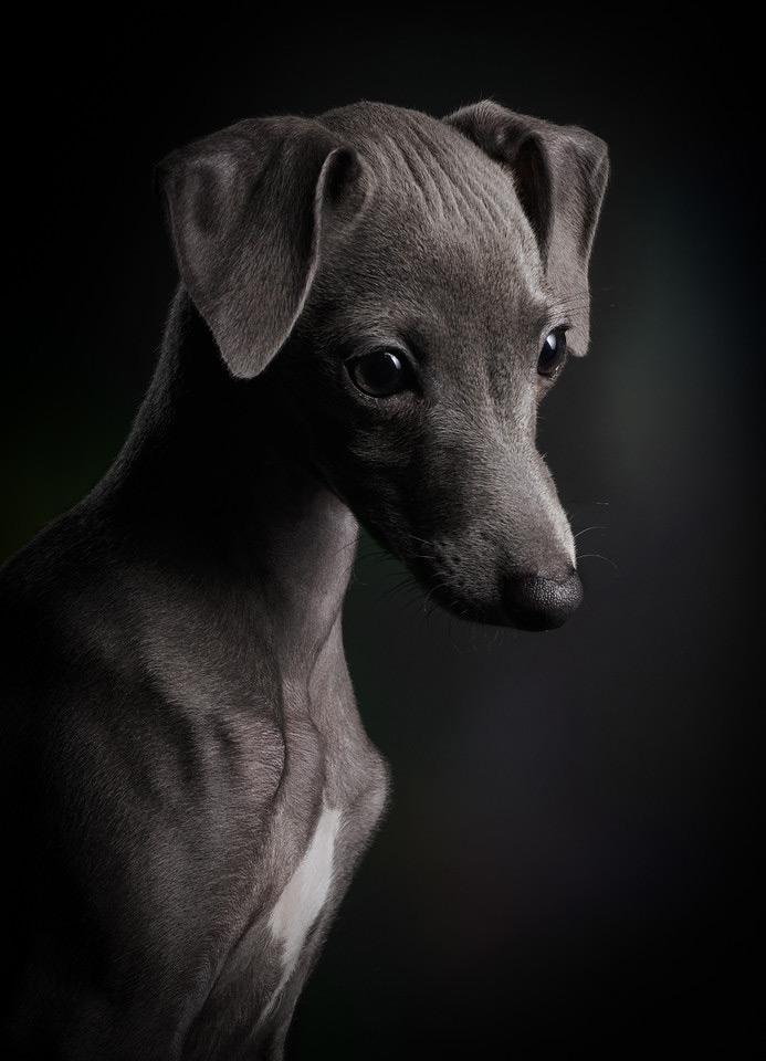 Маленький Цейлин, © Клаус Дыба, Германия, Победитель категории «Щенки», Фотоконкурс собак — Dog Photographer of the Year