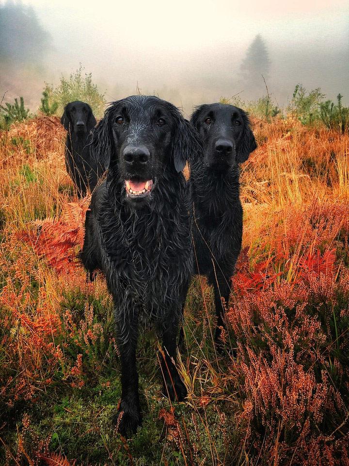На осеннем золоте, © Кэрол Даррант, Великобритания, Победитель категории «Портрет», Фотоконкурс собак — Dog Photographer of the Year