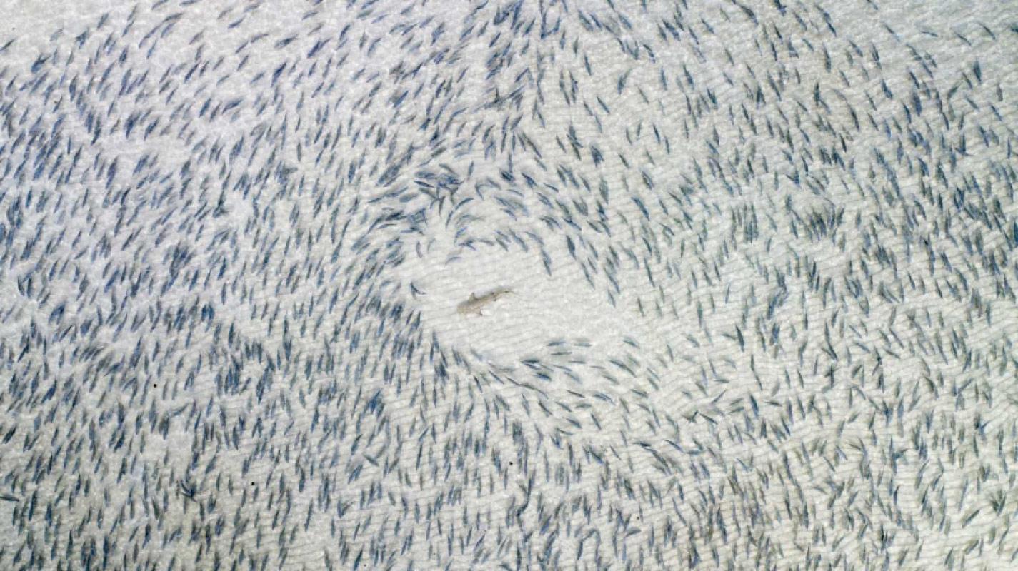 Чёрная акула, © Адам Баркер, Победитель категории, Конкурс фотографий с дрона DrAw
