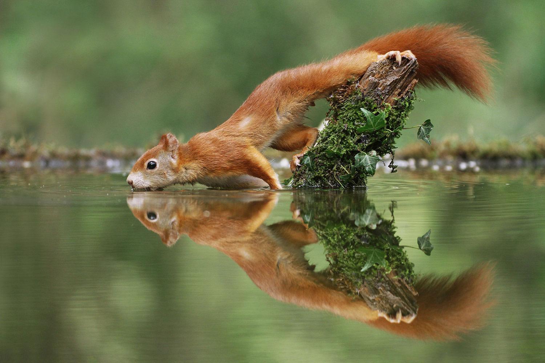 Жаждущий, © Джулиан Рад, 10 место, Фотоконкурс «Природные сокровища Европы» — Europe's Natural Treasures