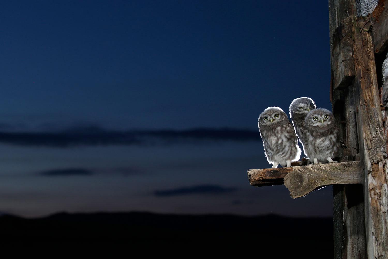 Три молодые совы, © Хосе Луис Родригес, 7 место, Фотоконкурс «Природные сокровища Европы» — Europe's Natural Treasures