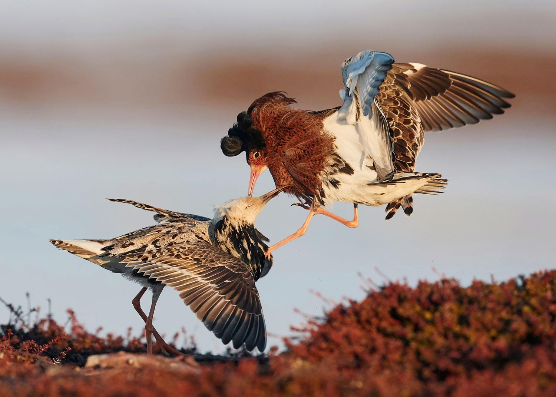 Поединок, © Маркус Варесвуо, 9 место, Фотоконкурс «Природные сокровища Европы» — Europe's Natural Treasures