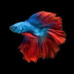 Элегантные сиамские боевые рыбы, © Джирават Плехонту, Победитель категории «Дикая природа / Животные» (профессионал), Фотоконкурс Fine Art