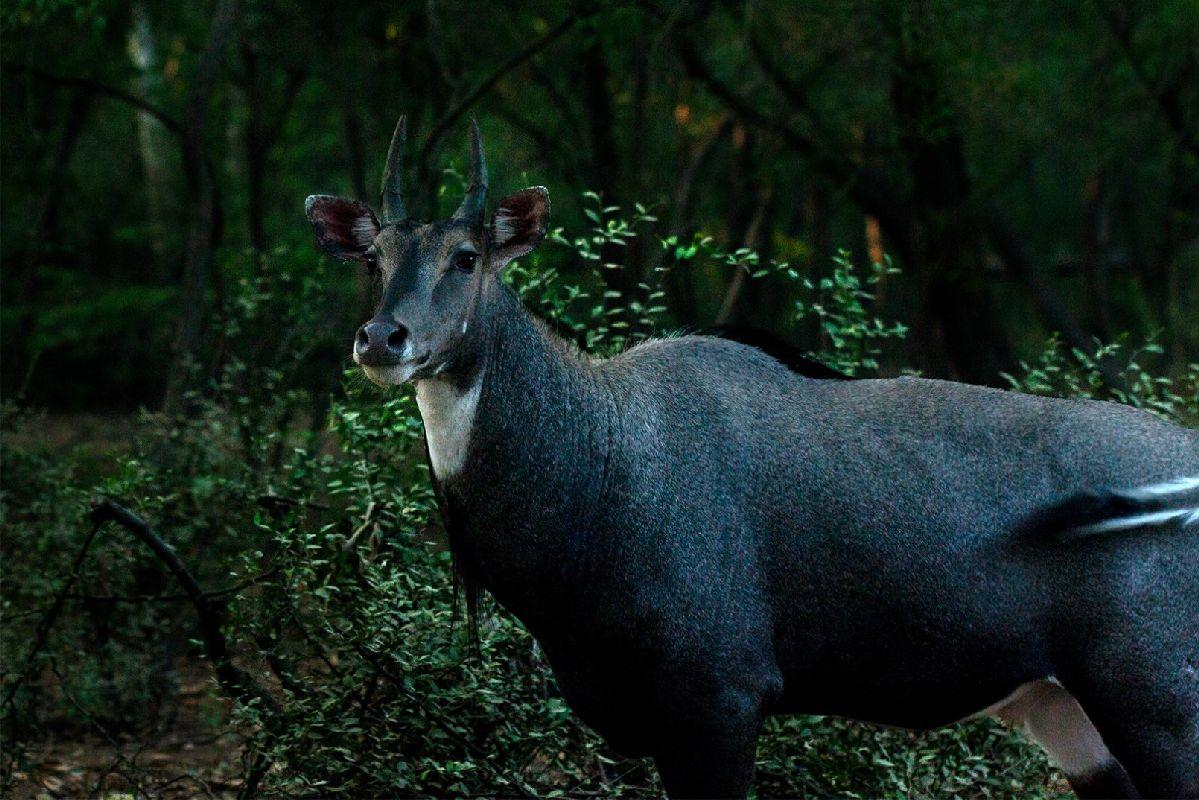 Голубой бык - Хемант Гоял