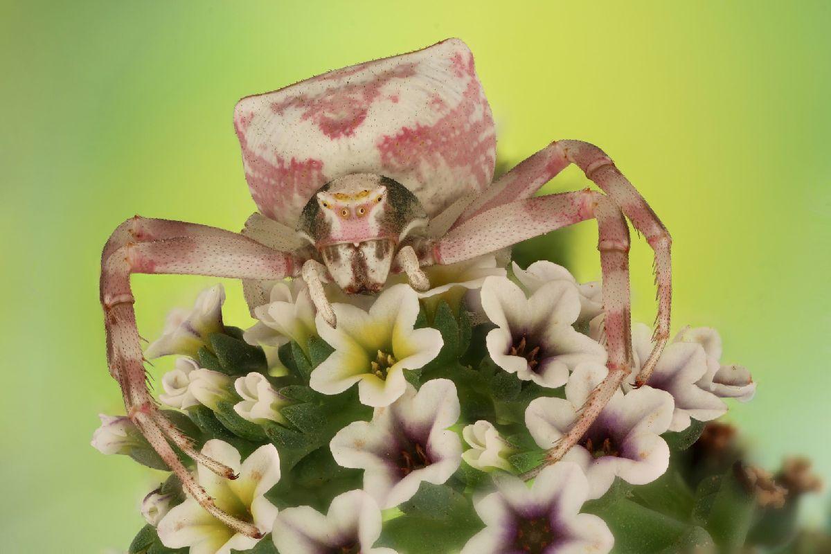 Крабовый паук - Мофид Шалва