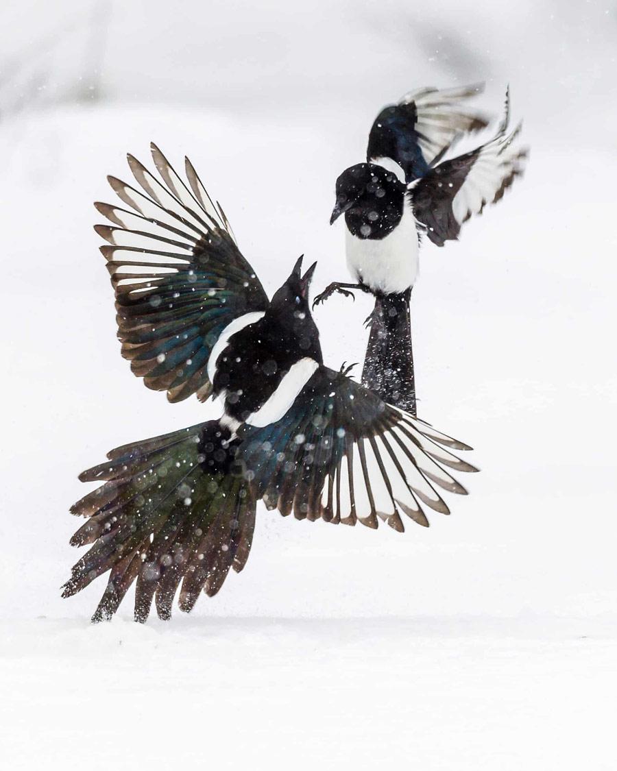 Бой сорок, © Лассе Куркела, Финляндия, Победитель категории «Молодёжь до 14 лет», Фотоконкурс «Европейский фотограф дикой природы»