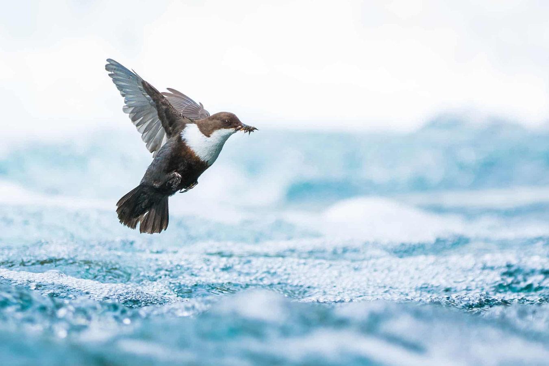 Оляпка в полёте, © Саймон Йонсен, Норвегия, Победитель категории «Молодёжь 15–17 лет», Фотоконкурс «Европейский фотограф дикой природы»
