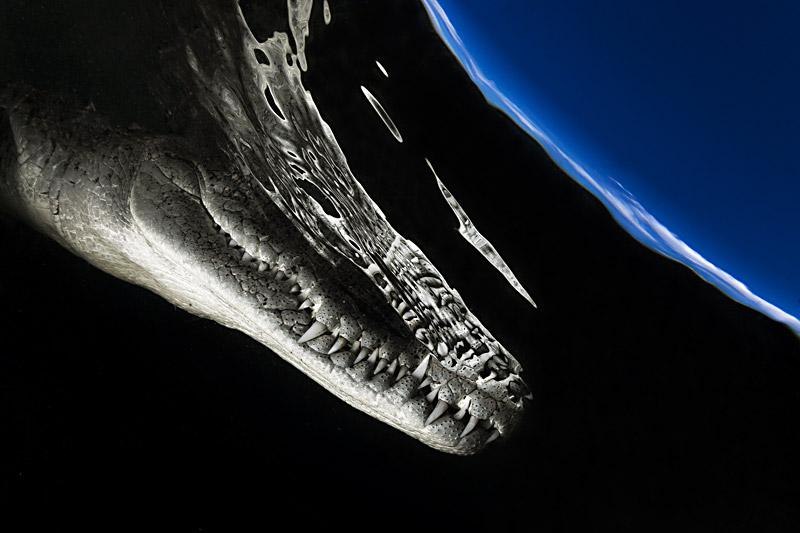 Космический крокодил, © Алехандро Прието, Мексика, Победитель категории «Разнообразие всех других животных», Конкурс природной фотографии Glanzlichter