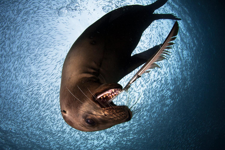 Морской лев, © Алехандро Прието, Второе место, Фотоконкурс «Золотая Черепаха»