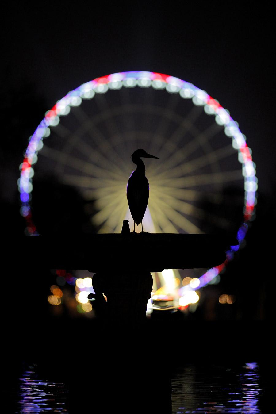 Парижский павлин, © Натан Ливартовски, Победитель, Фотоконкурс «Золотая Черепаха»