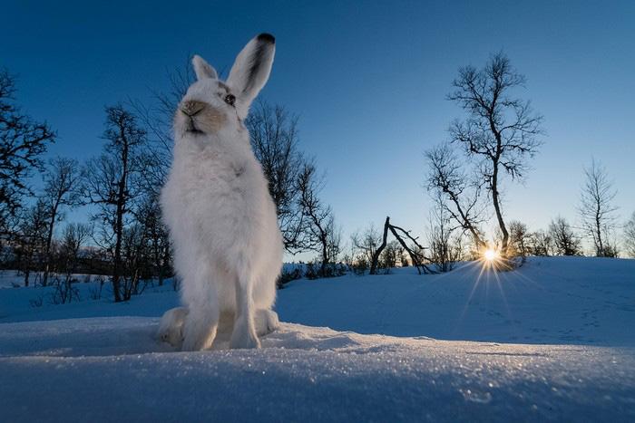 Заяц на закате, © Эрленд Хааберг, Третье место, Фотоконкурс «Золотая Черепаха»