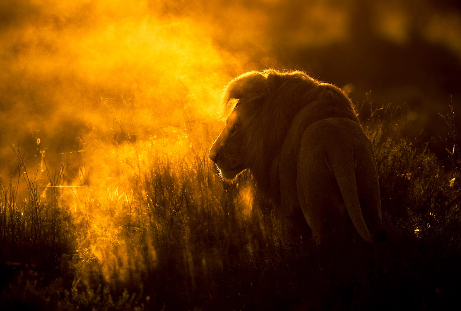 Лев в тумане, © Викторас Дубинскас, Победитель, Фотоконкурс «Золотая Черепаха»
