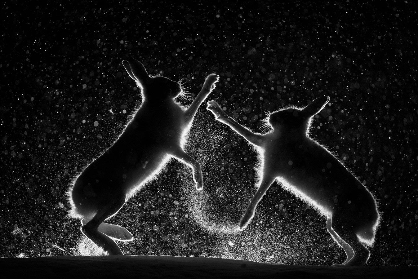 Снежная потасовка, © Эрленд Хааберг, Победитель, Фотоконкурс «Золотая Черепаха»