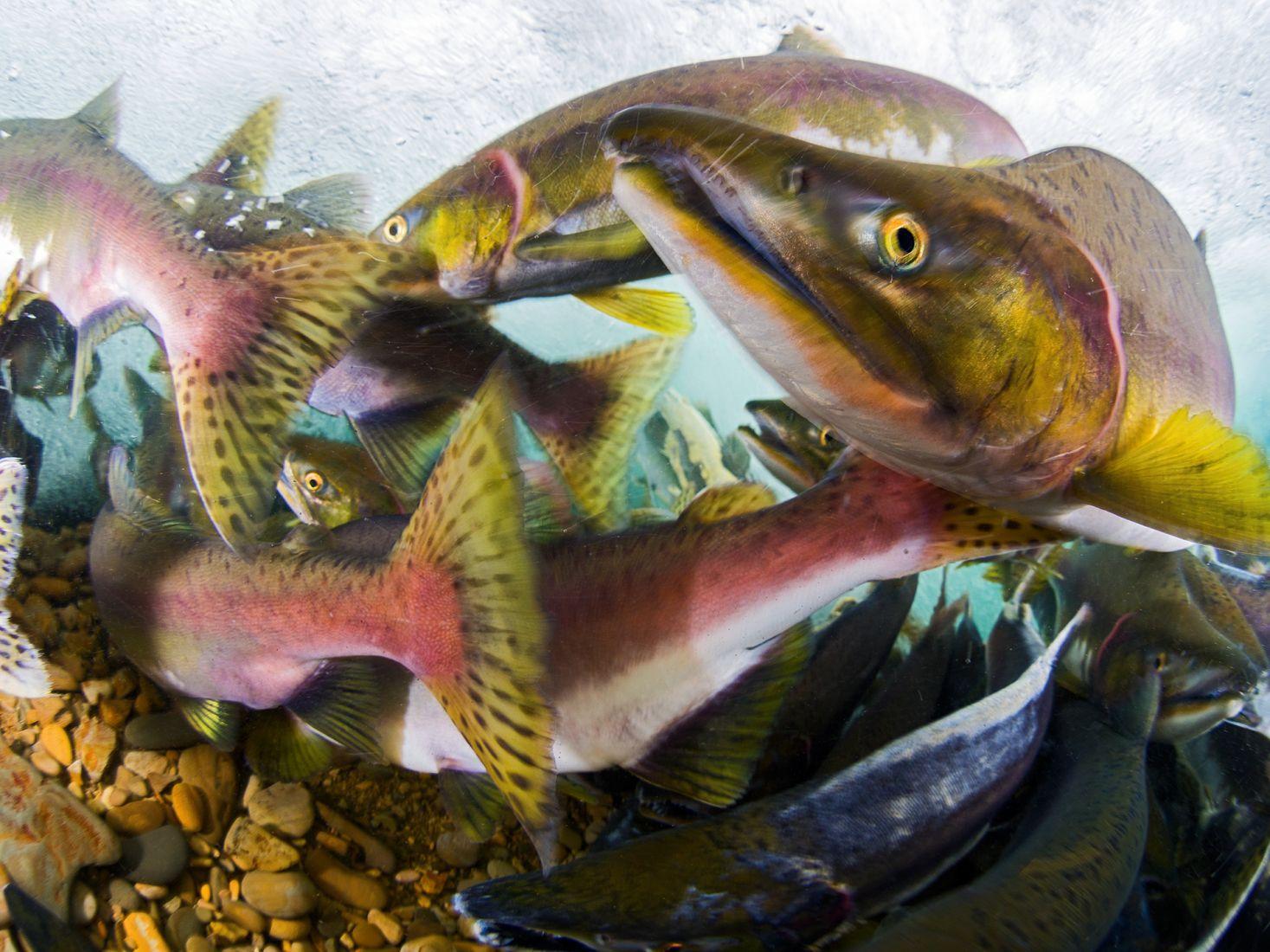 Нерест красной рыбы, © Сергей Шанин, Победитель, Фотоконкурс «Золотая Черепаха»
