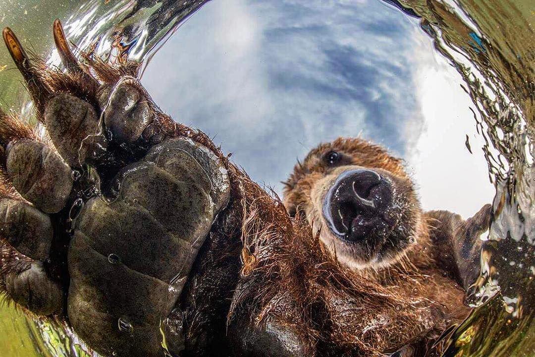 Любопытный медведь, © Михаил Коростелёв, Третье место, Фотоконкурс «Золотая Черепаха»