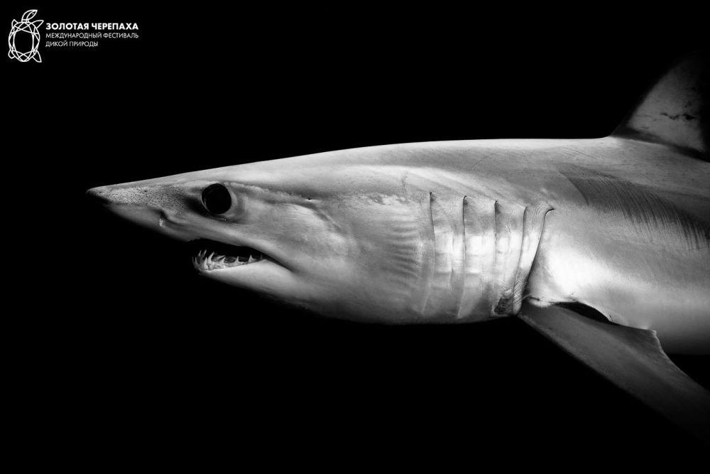 Акула-мако, © Ромен Баратс, Третье место, Фотоконкурс «Золотая Черепаха»