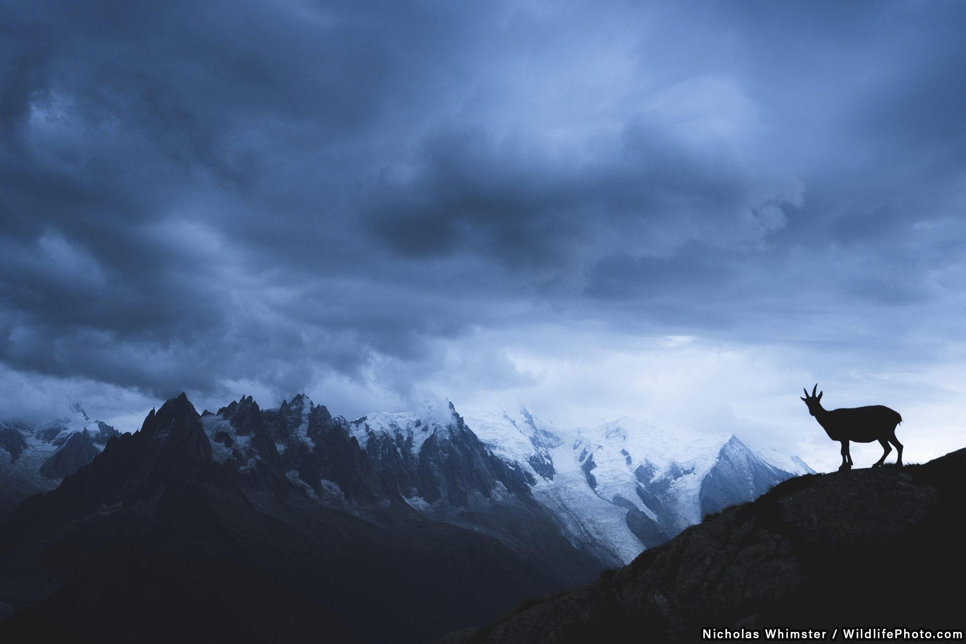 Козерог перед Монбланским массивом, © Николас Уистлер, Высокая оценка, Фотоконкурс «Места обитания и ландшафты»
