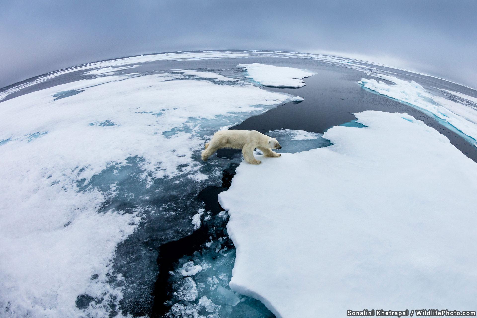 Путешественник на льдине, © Соналини Хетапал, Высокая оценка, Фотоконкурс «Места обитания и ландшафты»