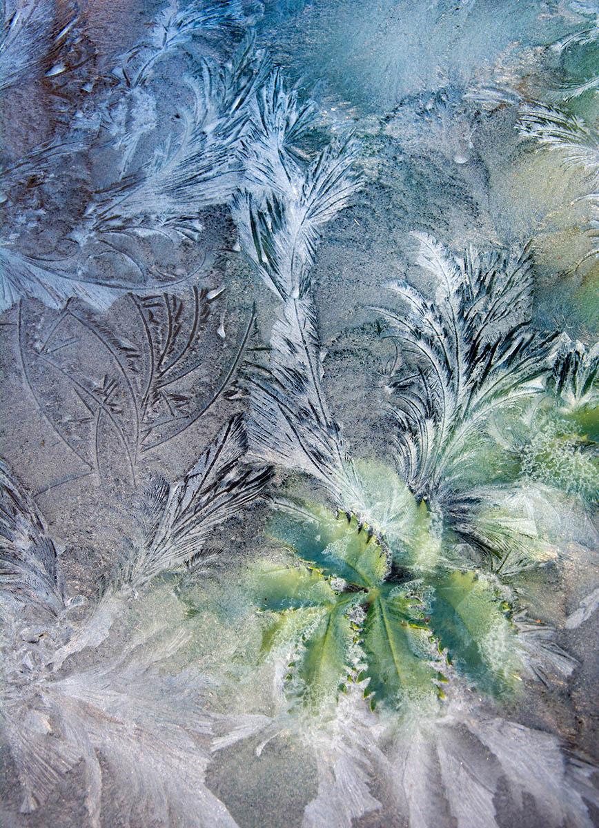 Через заледенелое стекло, © Кэрол Кассельден, 1-е место, Фотоконкурс «Международный садовый фотограф года»