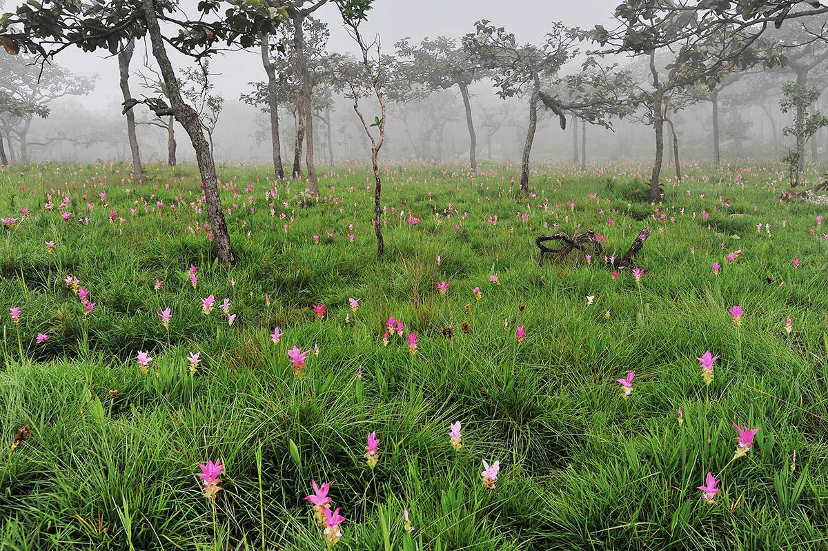 Тюльпаны Сиама, © Саймон Хэтэуэй, 3-е место, Фотоконкурс «Международный садовый фотограф года»