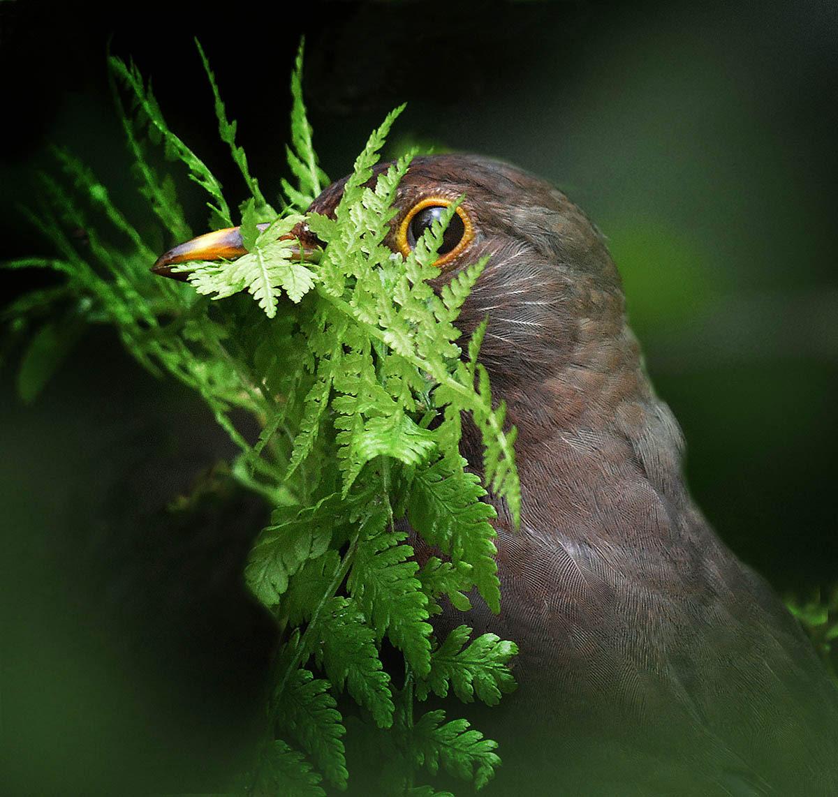 Самка чёрного дрозда, © Алан Прайс, 1-е место, Фотоконкурс «Международный садовый фотограф года»