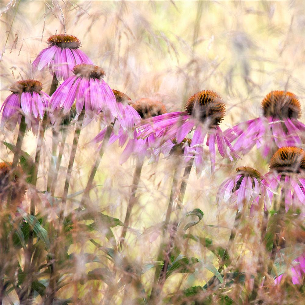 Эхинацея, © Найджел Беркитт, 1-е место, Фотоконкурс «Международный садовый фотограф года»
