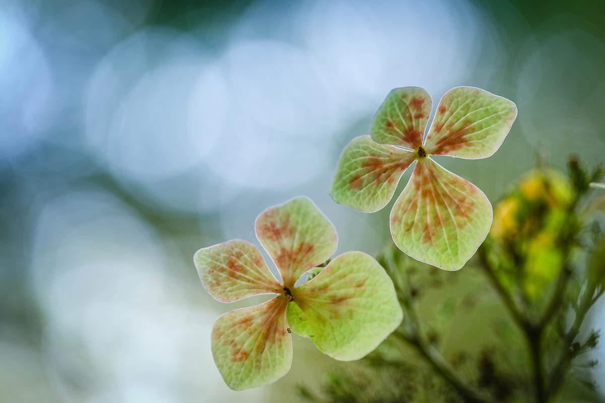 Гортензия, © Ян Ю Вэй, 1-е место, Фотоконкурс «Международный садовый фотограф года»