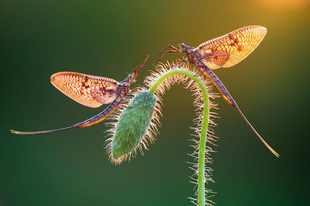 © Петар Сабол, Подёнки, Фотоконкурс «Международный садовый фотограф года» — IGPOTY
