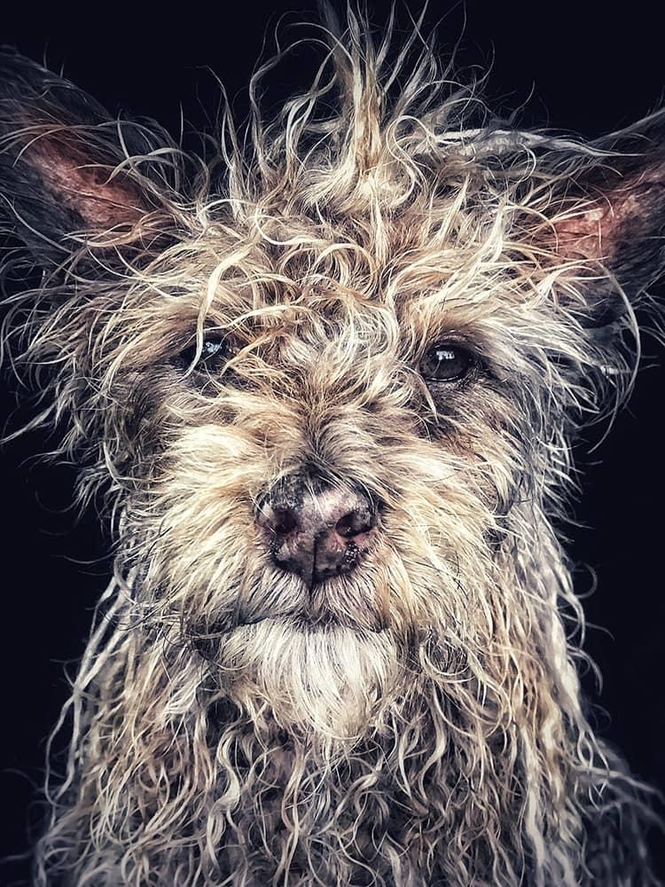 «Джанго», старик кобель маленькой породы, © Робин Робертис, США, Победитель категории «Животные», Конкурс мобильной фотографии iPhone