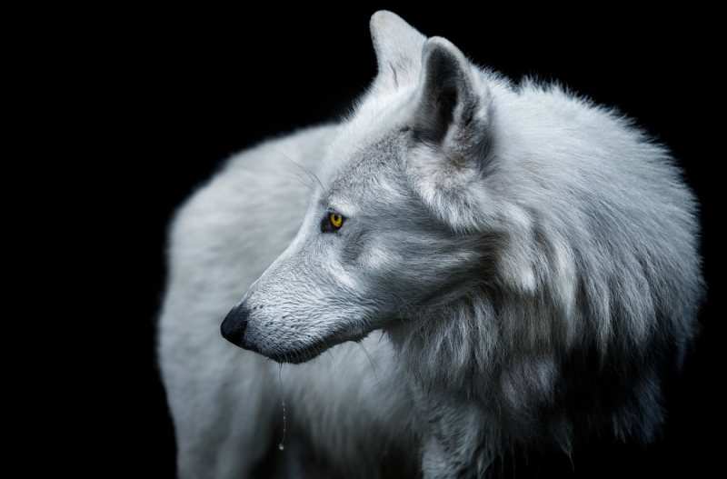 Педро Ярке Кребс, Арктический волк