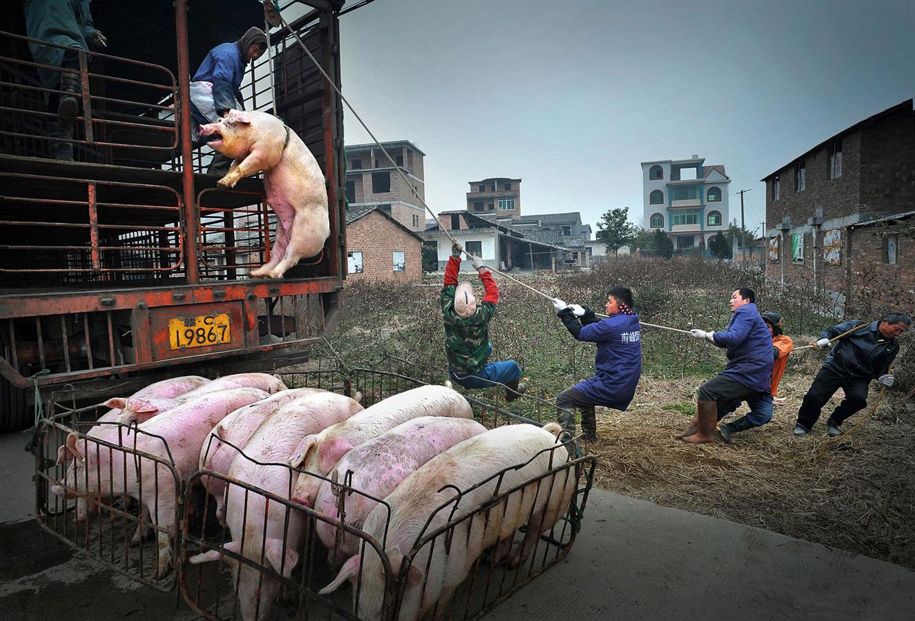 Висячая свинья, © Цзин Шэн Ни, Китай, 3 место, Фотоконкурс уличной фотографии LensCulture