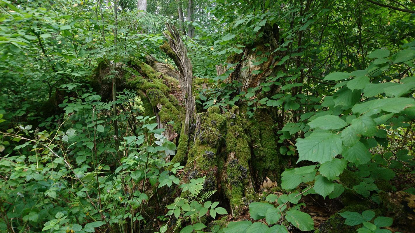 Священное дерево исчезает естественным путём, © Алари Талв, Фотоконкурс «Священные природные места»