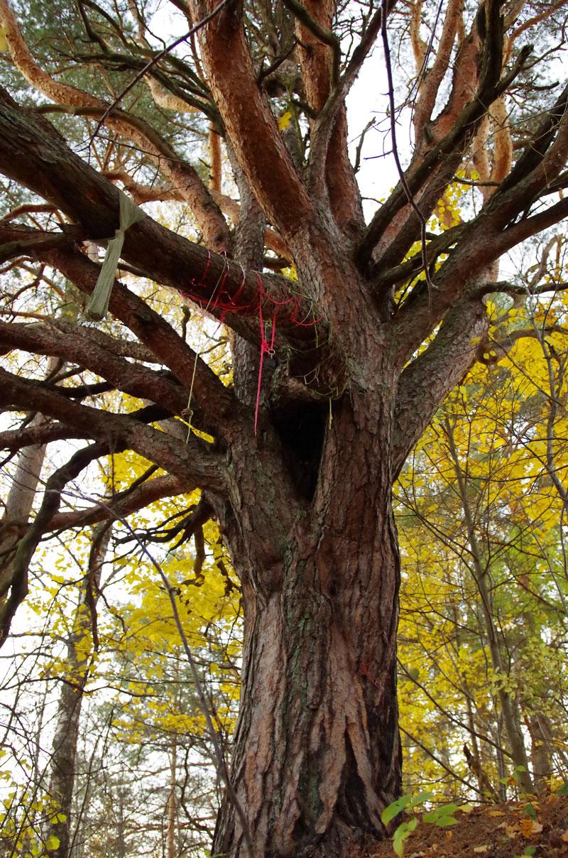 Священное место Лалли и священная сосна, © Сигрид Уутсалу, Фотоконкурс «Священные природные места»