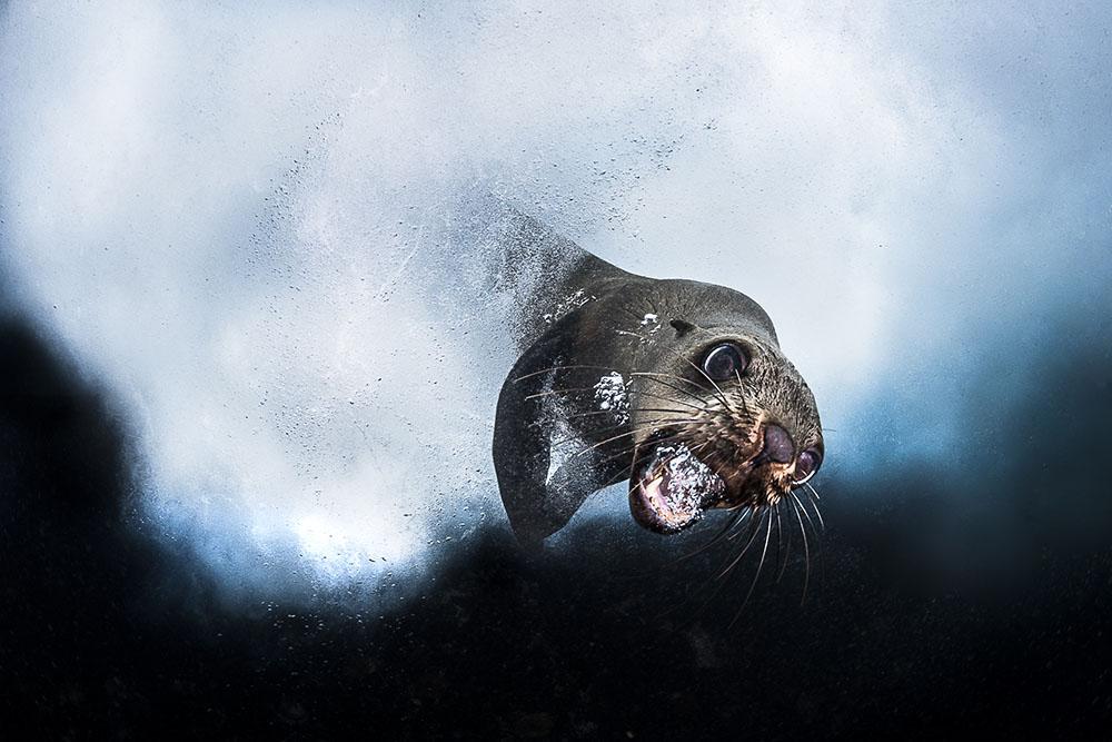 Морской котик, © Грег Лечеур / Greg Lecoeur, Франция, Победитель в категории «Подводный мир», Фотоконкурс Memorial Maria Luisa