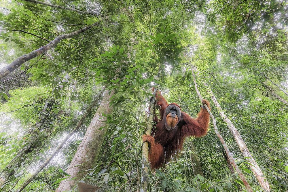 Дикий Суматранский орангутанг, © Марко Гайотти / Marco Gaiotti, Италия, Победитель в категории «Биоразнообразие», Фотоконкурс Memorial Maria Luisa