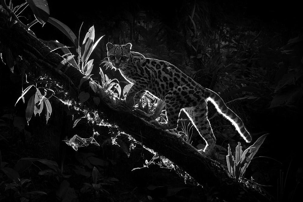 Теневой кот, © Диллон Андерсон (Новая Зеландия), Фотограф дикой природы – 2018 года (профессионал), Фотоконкурс Monochrome Awards