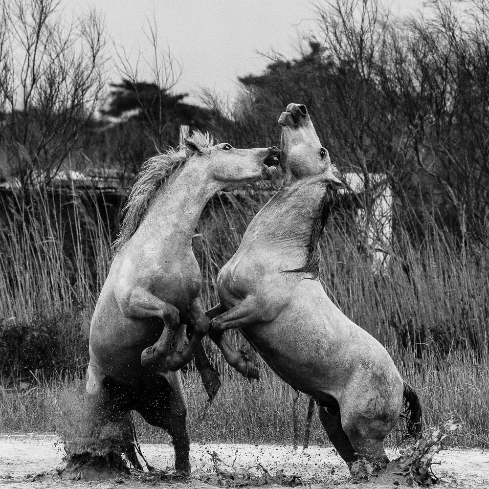 Лошадиные игры, © Барбаре Доминик (Франция), Открытие дикой природы года – 2018 (любитель), Фотоконкурс Monochrome Awards