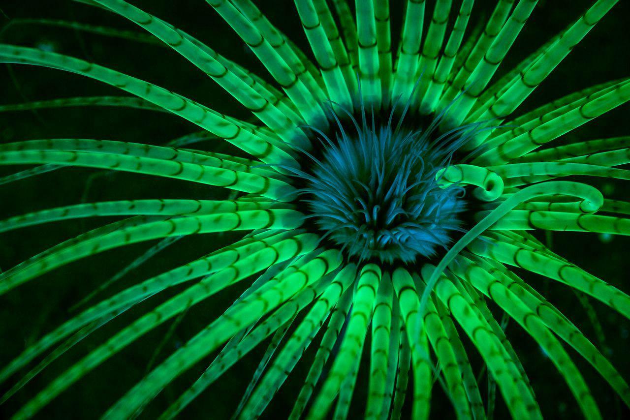 Флюоресцирующая актиния, © Джим Обестер / Jim Obester, 1 место в категории «Подводная», Фотоконкурс Nature Photographer of the Year Contest