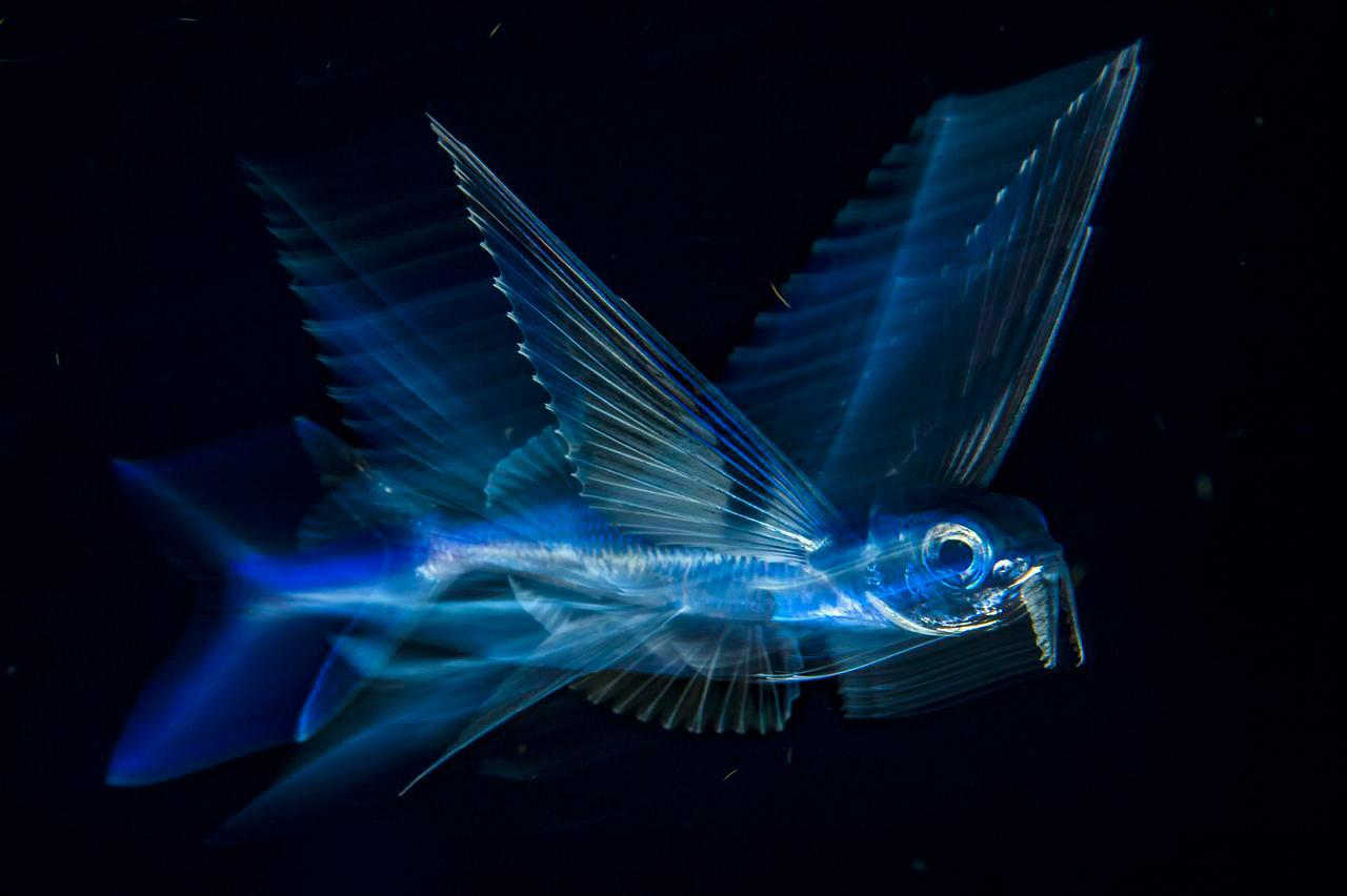 Летающая рыба в движении, © Майкл О'Нил / Michael O'Neill, 3 место в категории «Подводная», Фотоконкурс Nature Photographer of the Year Contest