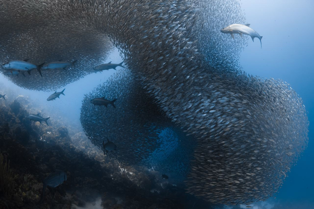 Хищники и добыча, © Дженнифер О'Нил / Jennifer ONeil, Почётный отзыв в категории «Подводная», Фотоконкурс Nature Photographer of the Year Contest