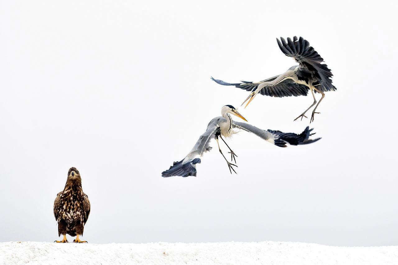 Белые задиры, © Бансе Мате / Bence Mate, 3 место в категории «Живая природа», Фотоконкурс Nature Photographer of the Year Contest