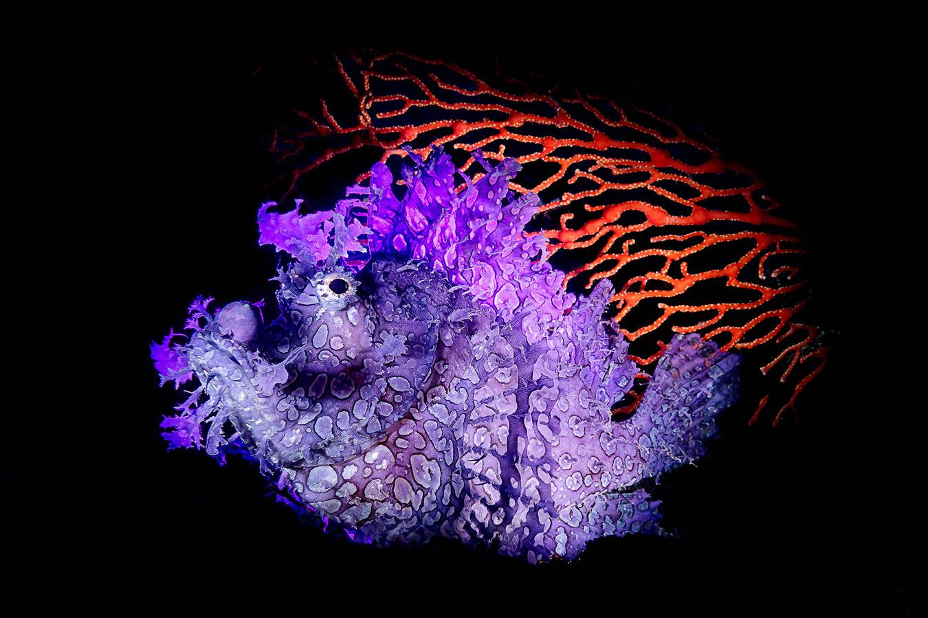 Ринопиасы, Амбон, Индонезия, © Юнг Сен Ву, Килунг, Тайвань, Победитель категории «Океан», Фотоконкурс «Лучшая природная фотография Азии»