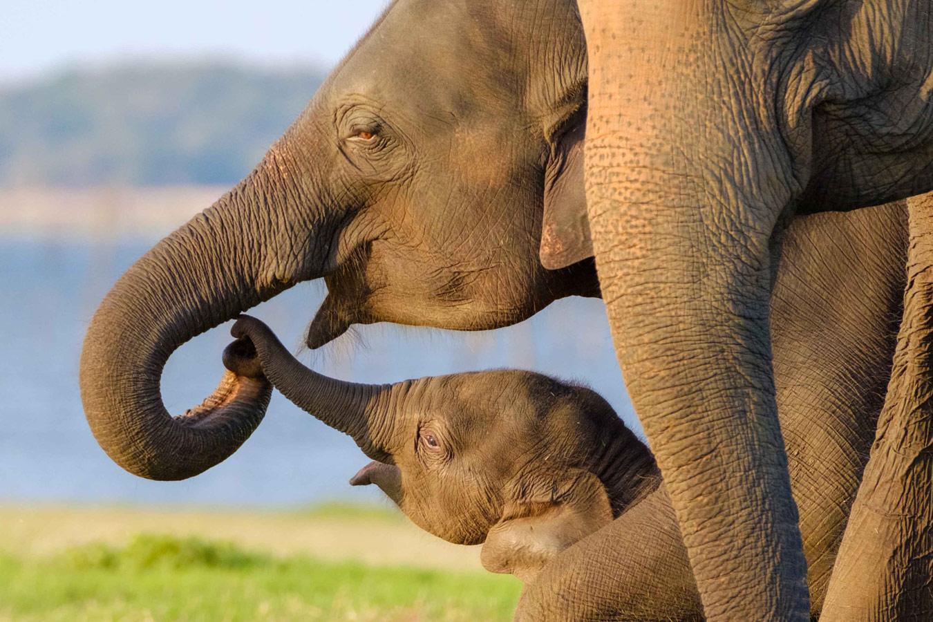 Родительская любовь, Шри-Ланка, © Шин Окамото, Токио, Япония, Награда Lumix, Фотоконкурс «Лучшая природная фотография Азии»